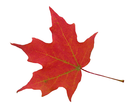 460x360 Maple Leaf Clipart Real