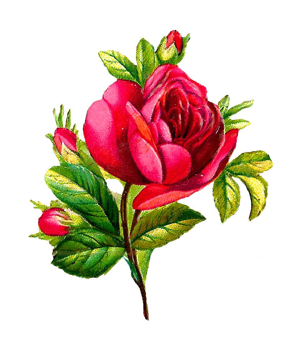 935x1098 Antique Images Digital Red Rose Clip Art Flower Download