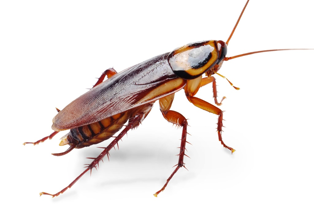 1024x666 Cockroaches in Kitchen Clip Art – Cliparts