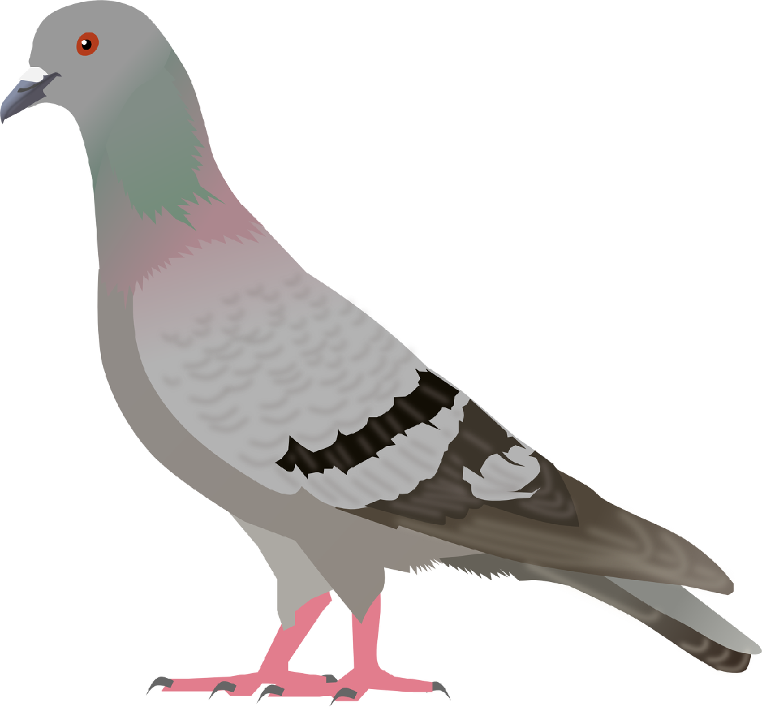 1103x1024 Pigeon Png Images, Free Pigeon Png Pictures Download
