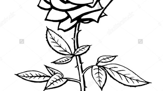 570x320 Rose Black And White Drawing Black And White Roses Drawing