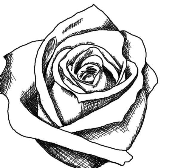 577x564 White Rose Clipart Whaite