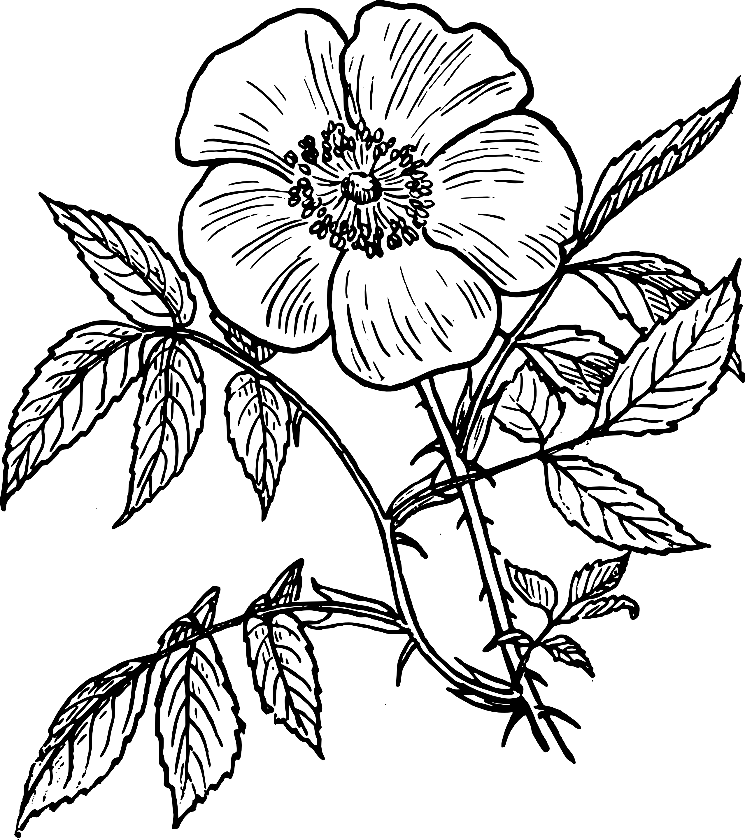 2555x2880 Line Drawing Of A Rose