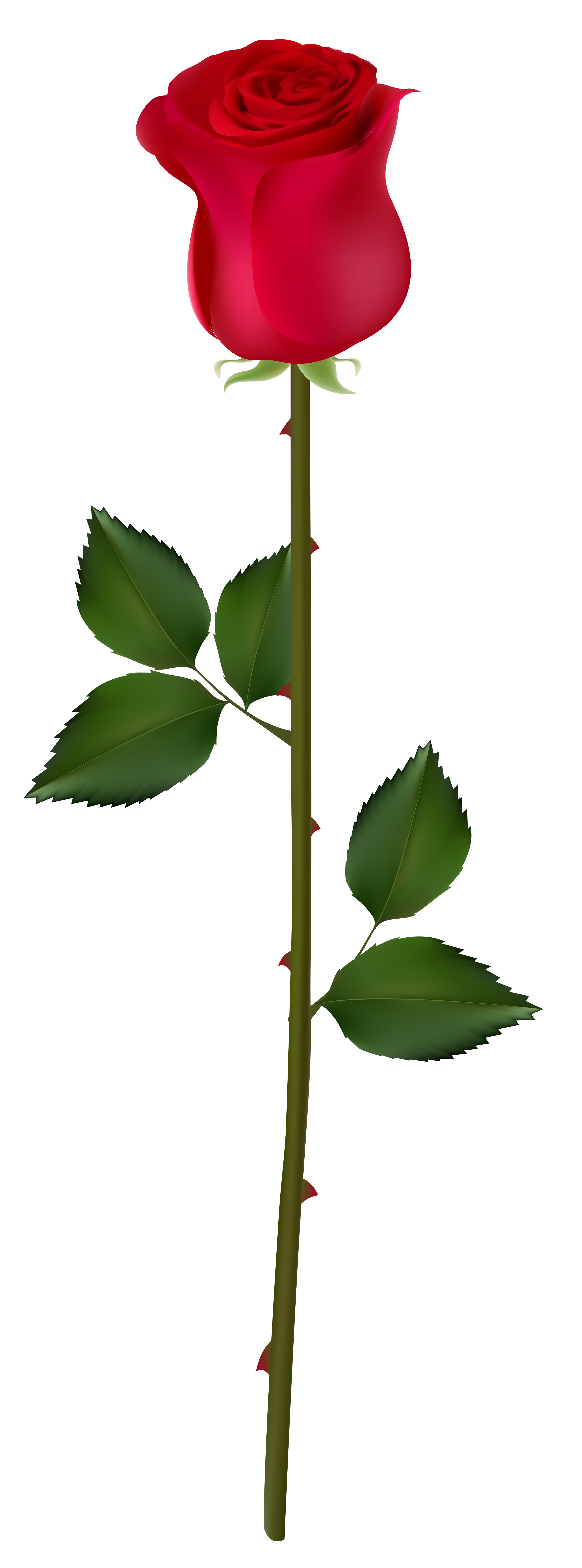 2971x8000 Edit And Free Download Red Rose Bud Png Image