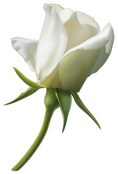 409x600 Beautiful White Rose Bud Png Clipart Imageu200b Gallery Yopriceville