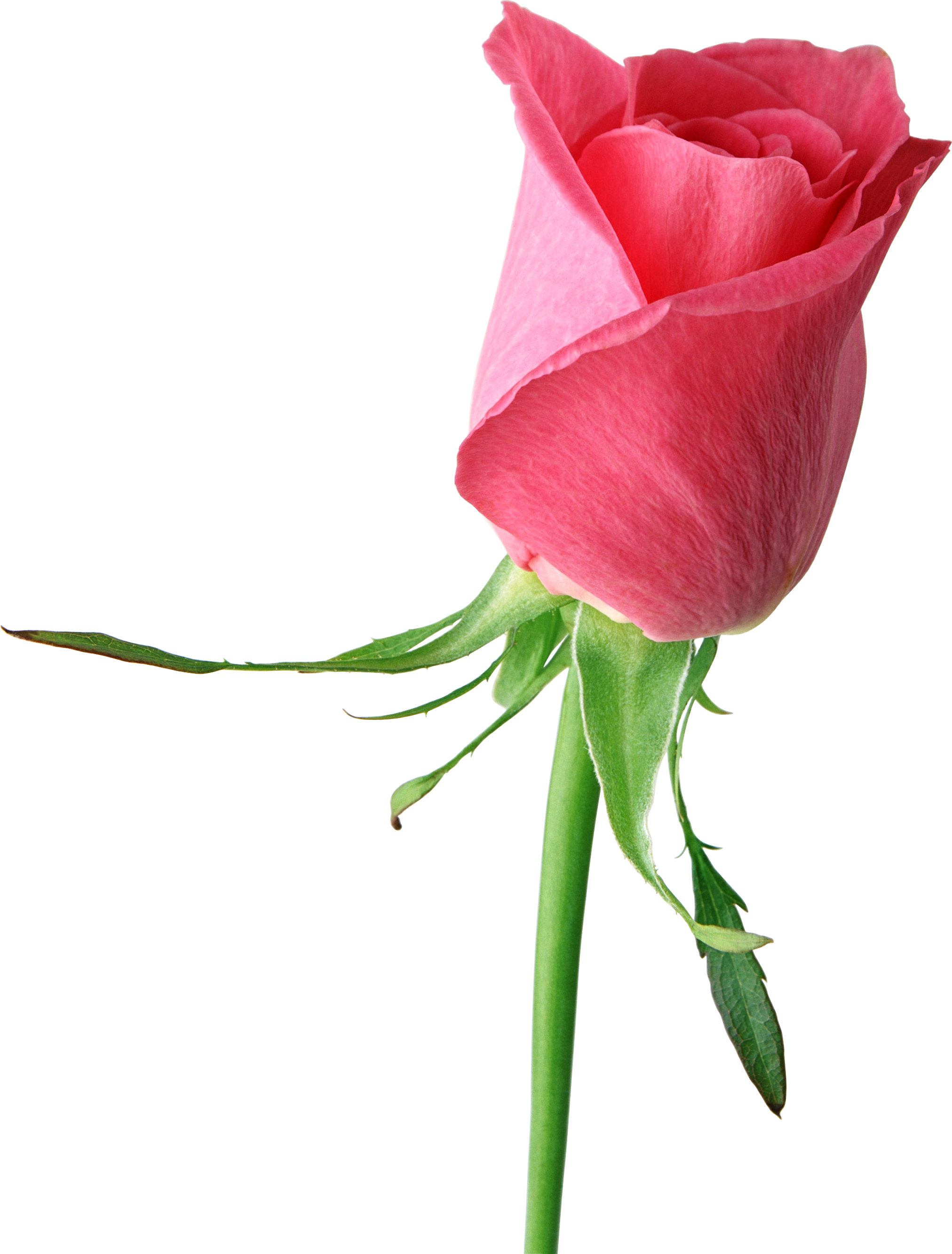 2024x2665 Bud Clipart Pink Rose