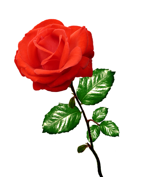 577x691 Top 84 Red Rose Clip Art