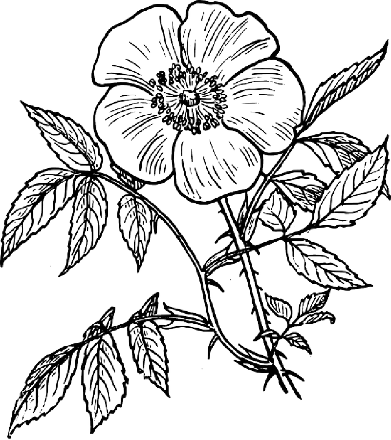 800x901 Black, Outline, Drawing, Plants, Flower, White, Flowers