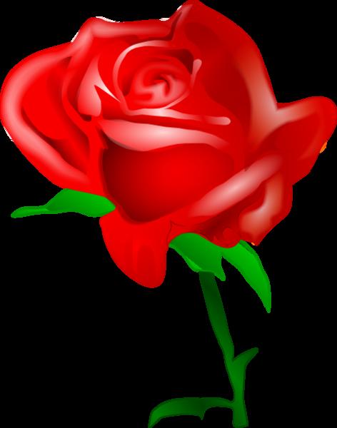 472x600 Flower Rose Bud Red Opened Large Flower Flower