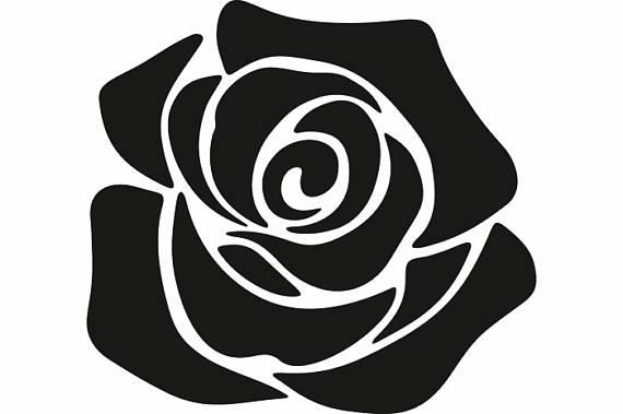 570x379 Rose