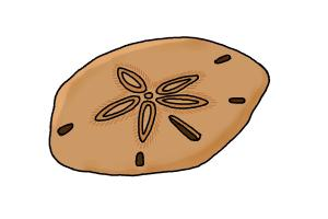 300x200 How To Draw A Sand Dollar