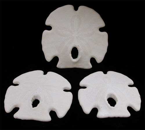 500x449 Sand Dollars From Around The World
