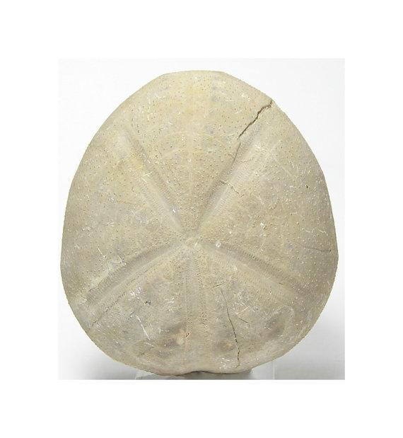 570x619 Texas Fossil Sand Dollar Echinoid Sea Urchin By Fenderminerals