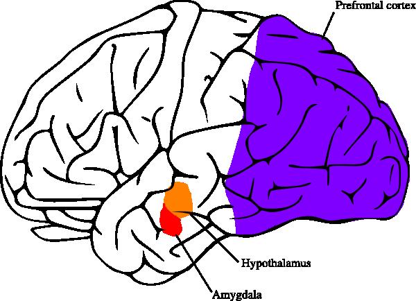 600x434 Brains Clipart Purple