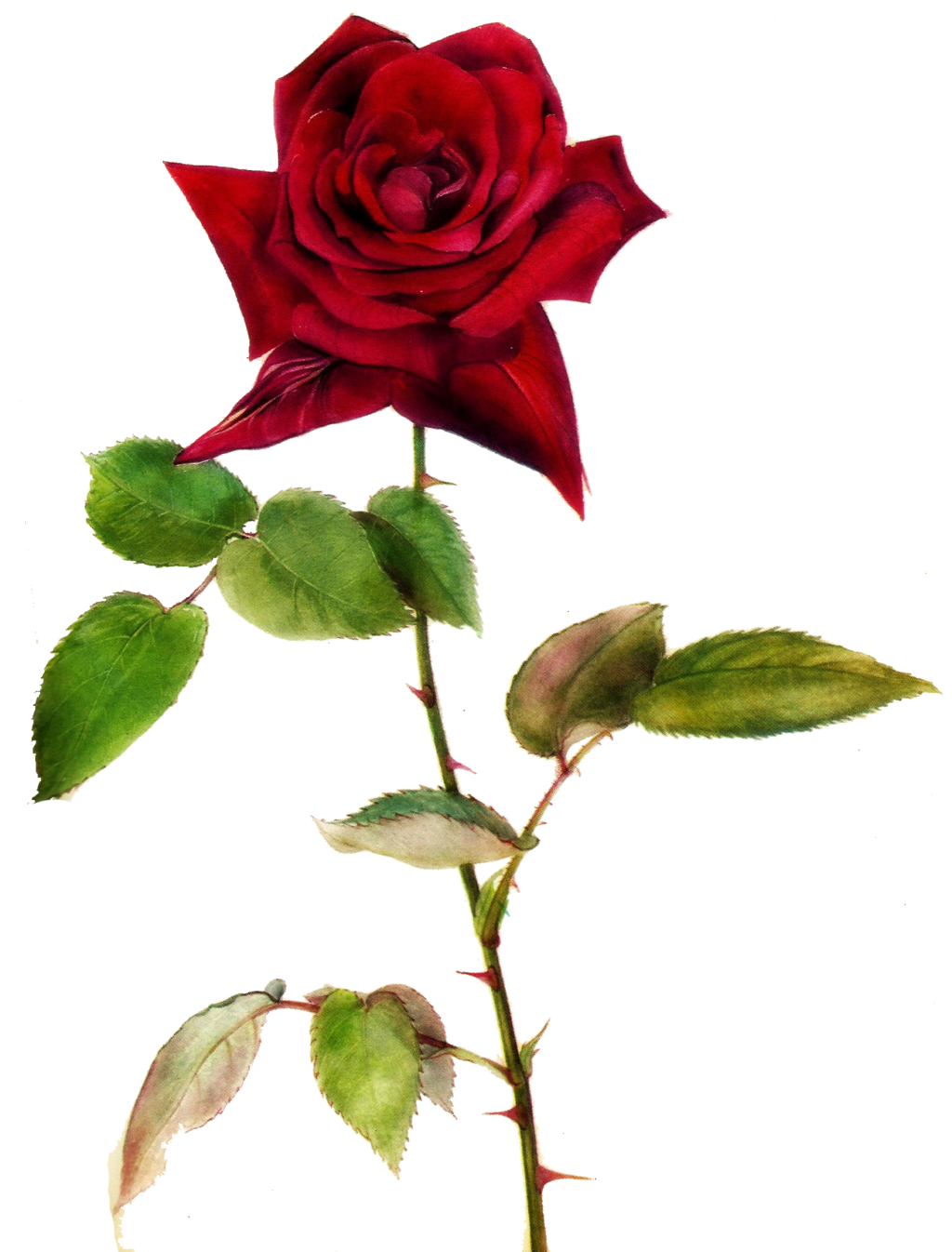 1024x1346 Red Rose Clipart One