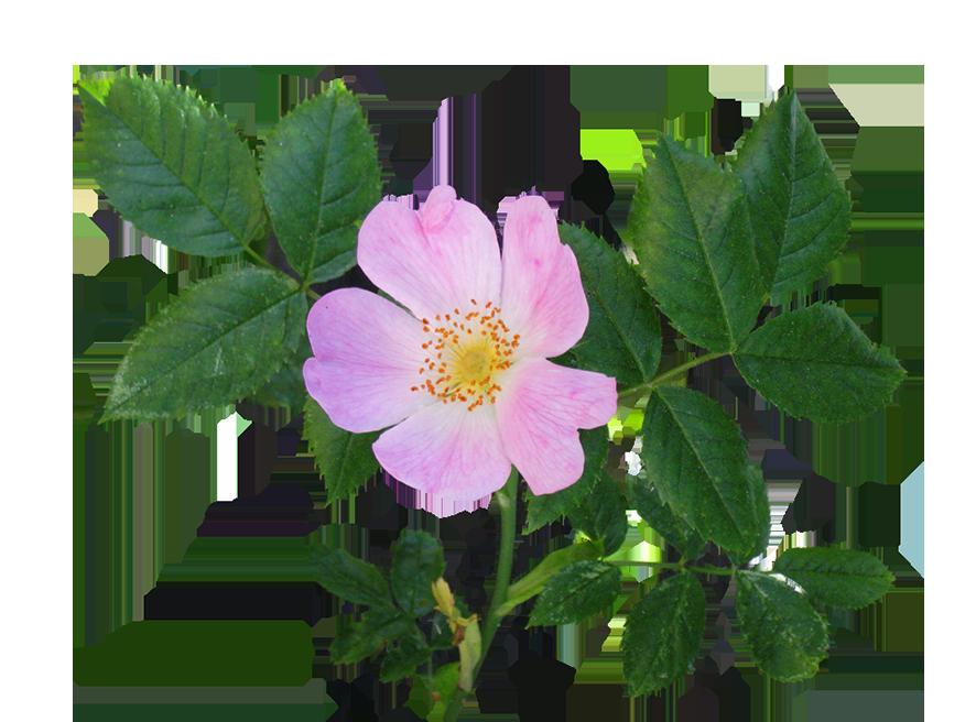 886x656 Rose Clipart