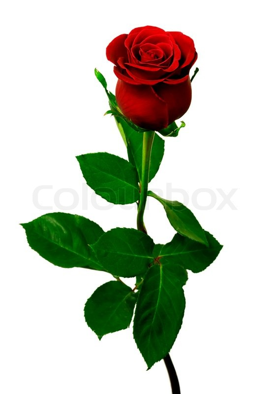 561x800 Single Red Rose On A White Background Stock Photo Colourbox