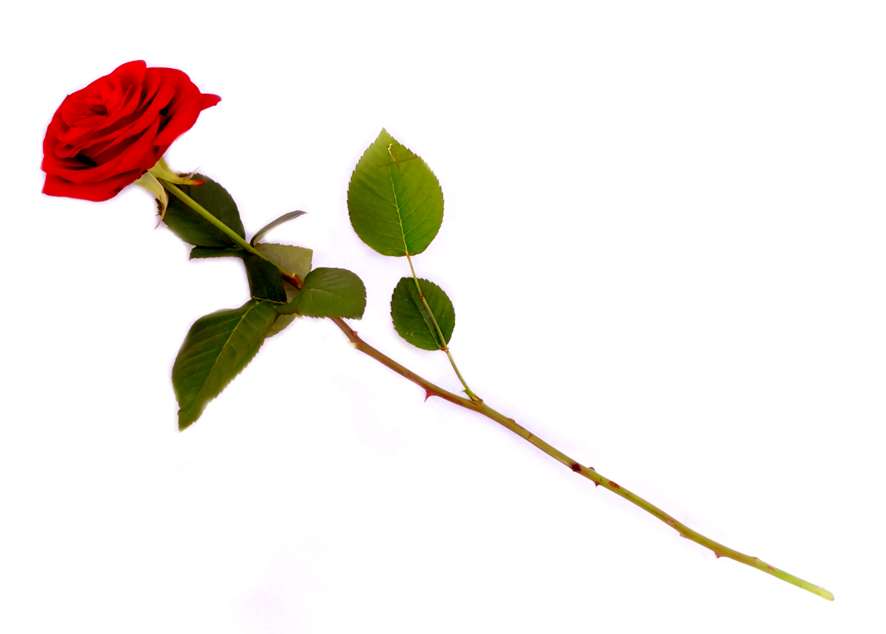 886x634 Red Rose Clipart