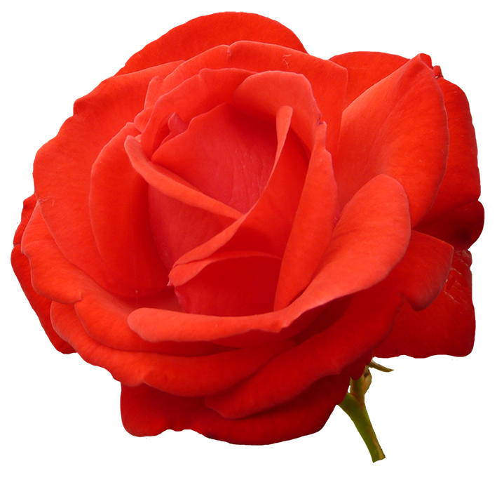 709x704 Clipart Roses