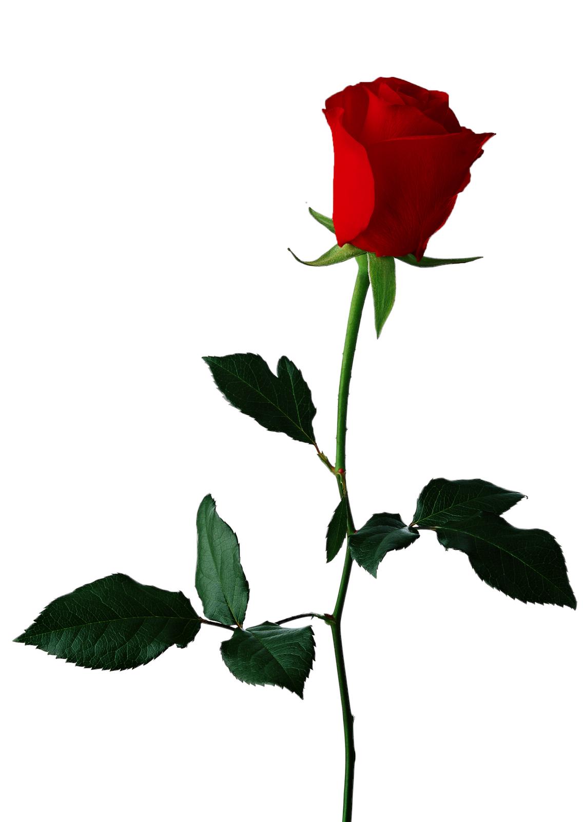 1136x1600 Single Rose Clipart