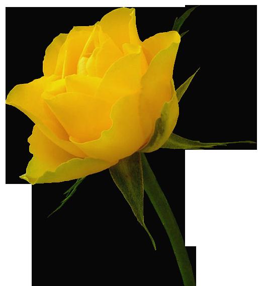 521x569 Transparent Yellow Rose Clipartu200b Gallery Yopriceville