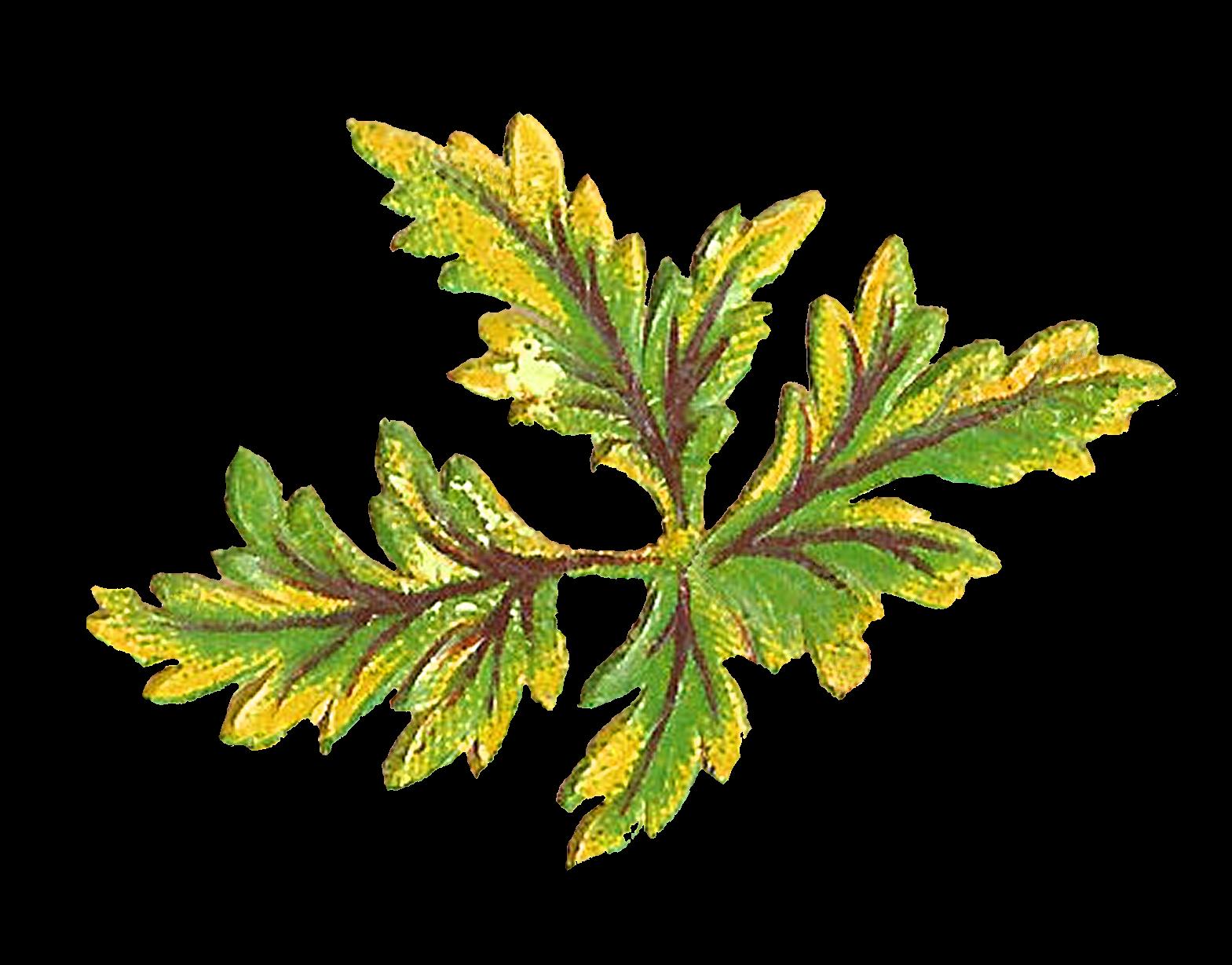 1569x1229 Antique Images Digital Botanical Artwork Stock Leaves Clip Art