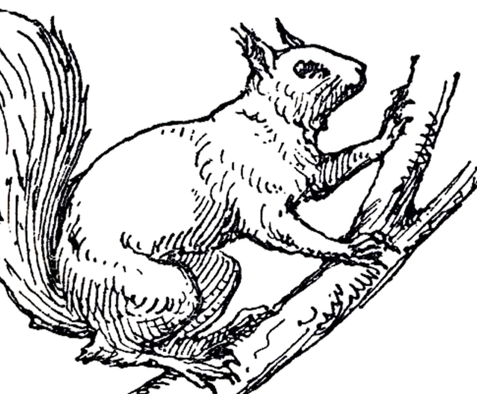 1608x1329 Vintage Squirrel Illustration Squirrel Illustration, Squirrel