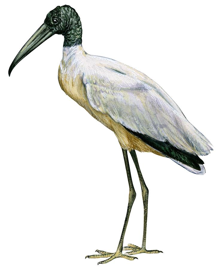 729x900 Stork Drawings Fine Art America
