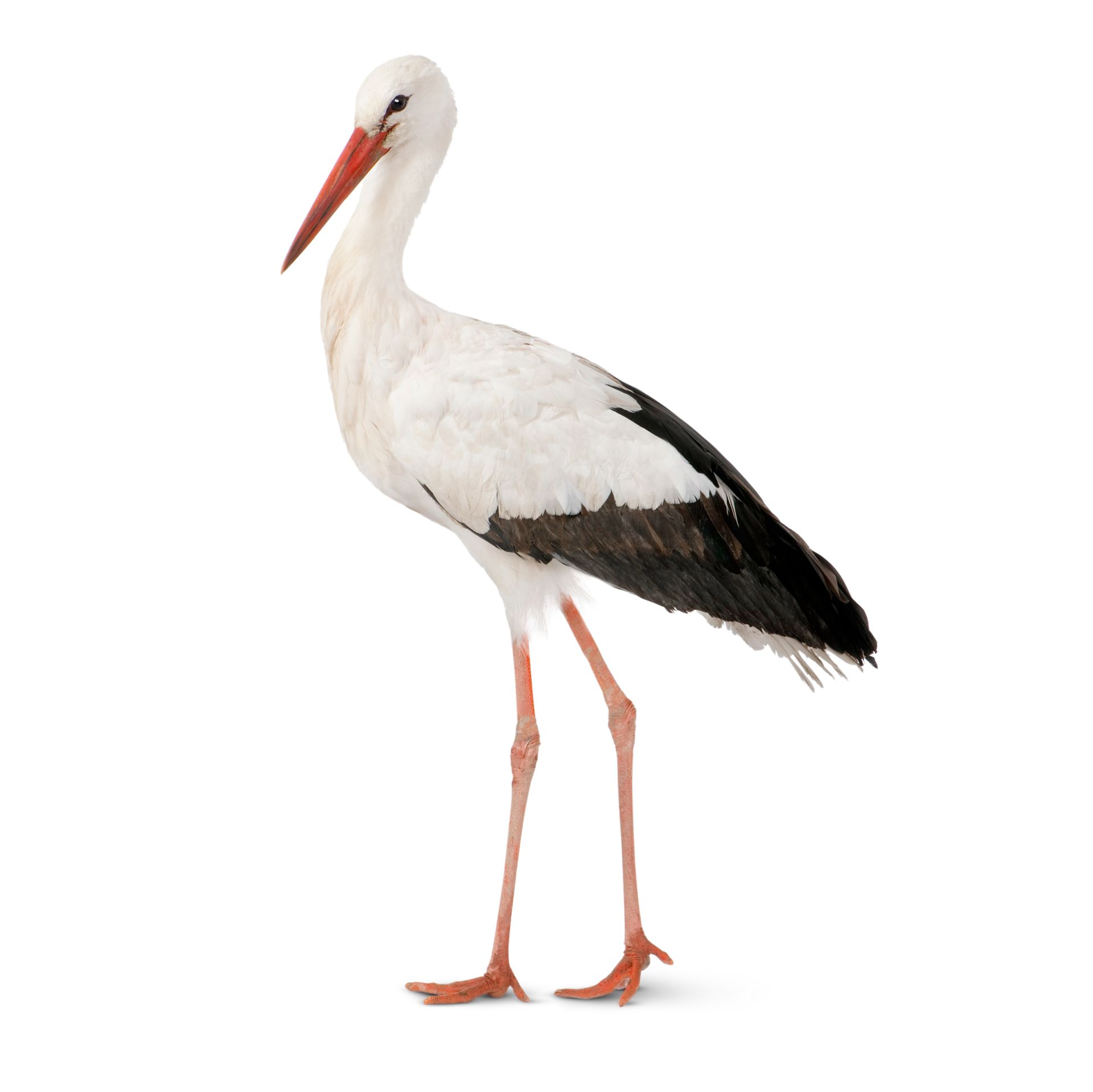 1920x1919 Storks Information White Stork Bird Dk Find Out