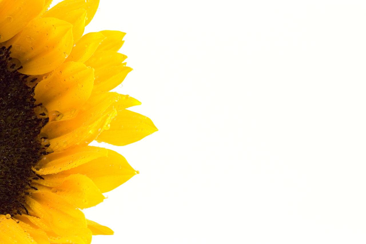 1280x853 Free Sunflower Corner Border Clipart Image