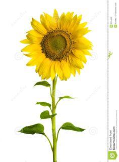 236x320 Sunflower Border Clip Art Sunflowers Clip Art Images Sunflowers