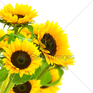 325x325 Border With Sunflowers Gl Stock Images