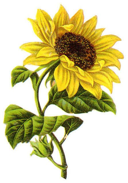 447x640 Sunflower Graphics Flowers Sunflowers, Clip Art