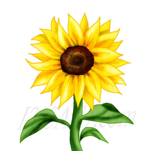 500x485 Best Sunflower Clipart