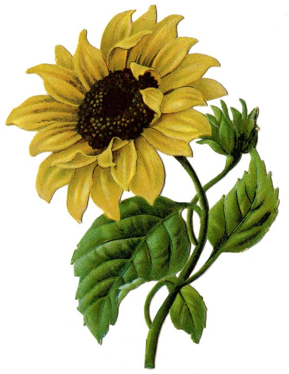 564x730 Graphics For Real Sunflower Graphics