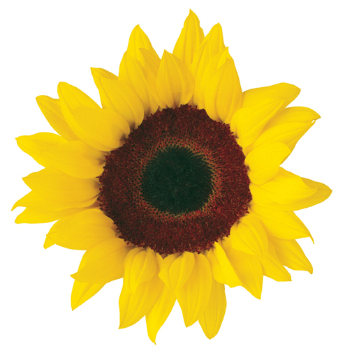 494x509 Sunflower Clip Art 2