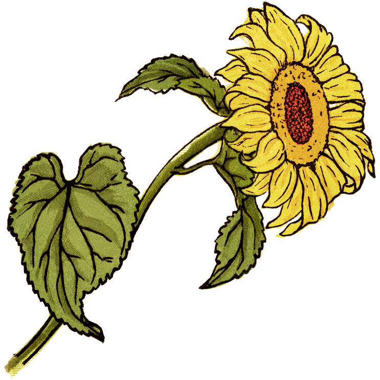 743x743 Sunflower Clip Art Pictures Free Clipart Images 3