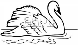 300x175 Swan In Black And White
