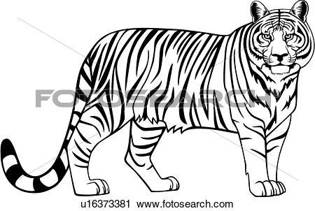 450x302 White Tiger clipart wild animal
