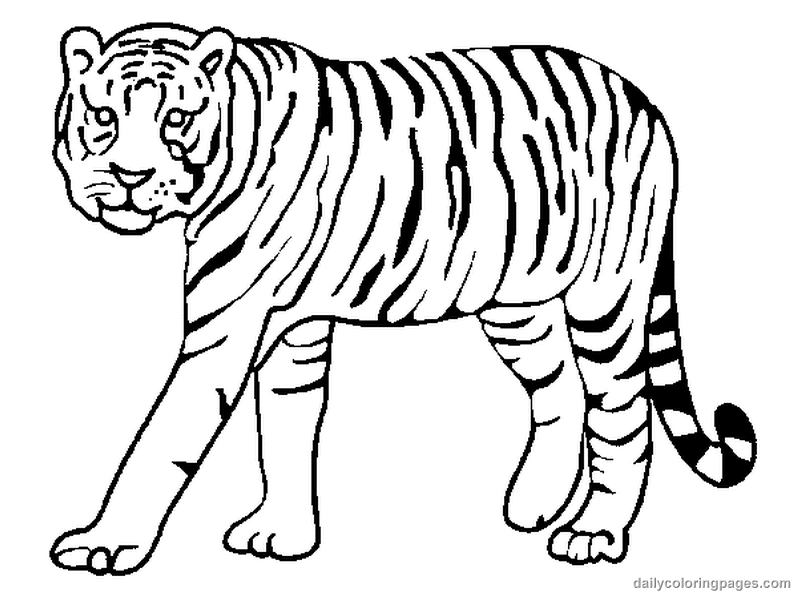 800x600 White Tiger Clipart Coloring Page