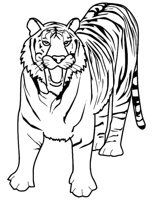 600x786 A Loud Roaring of Bengal Tiger Coloring Page A Loud Roaring of