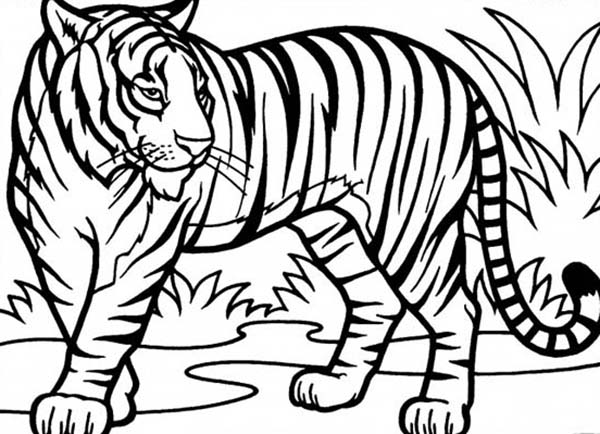 600x434 An Illustration of Sumatran Tiger in Conservation Coloring Page