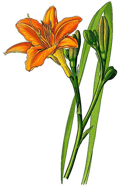 503x800 Lily clipart daylily