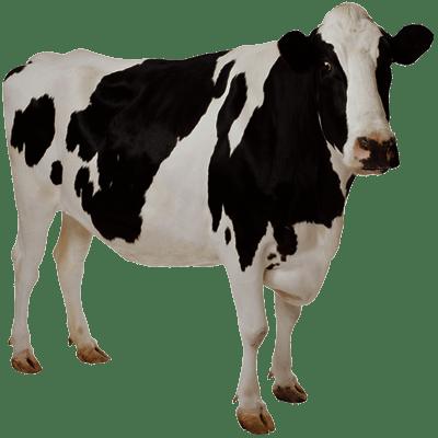 400x400 Cow Transparent Background Image