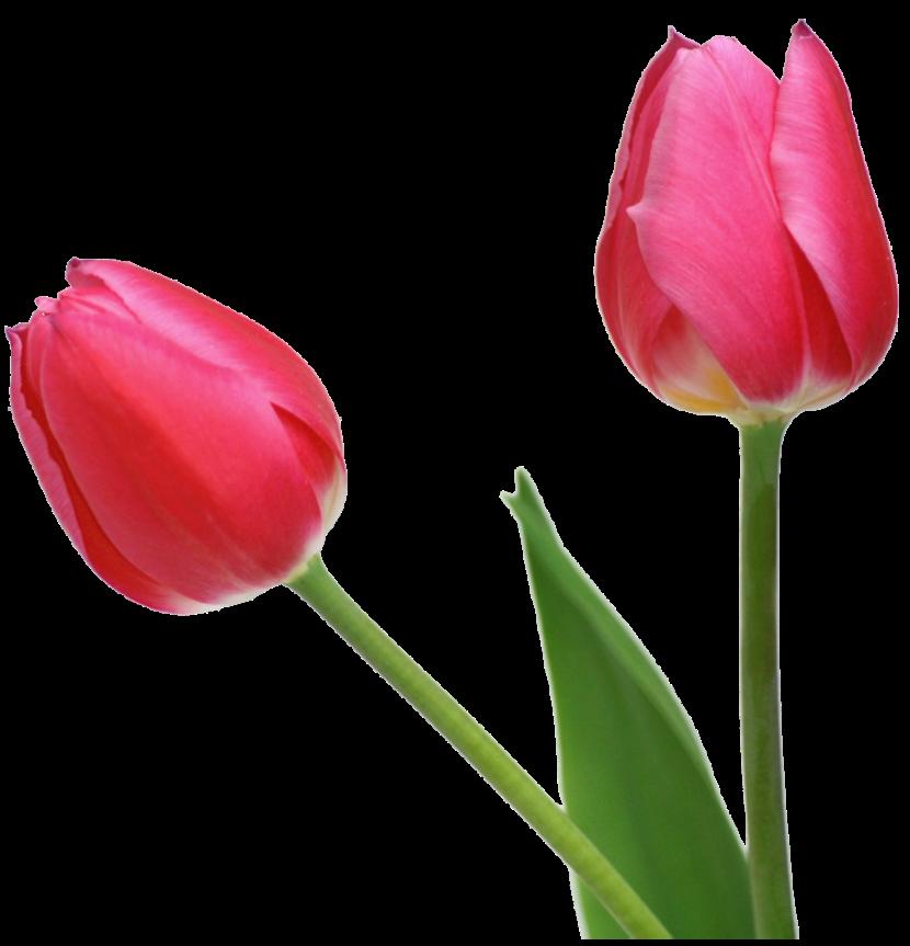 830x863 Tulip Clipart 2