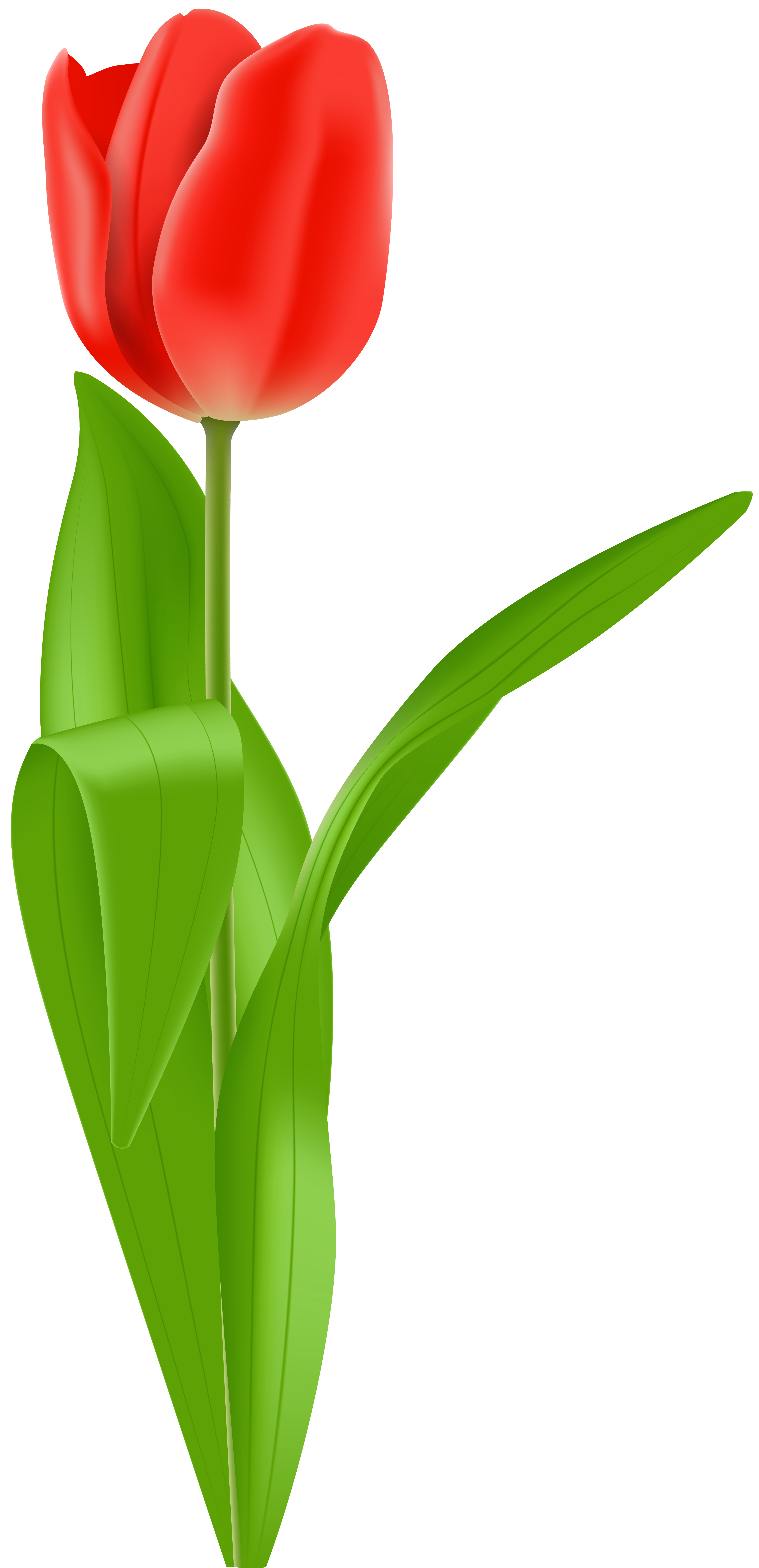 4842x9999 Red Tulip Png Clip Art Imageu200b Gallery Yopriceville