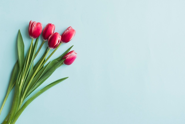 624x417 Tulip Vectors, Photos And Psd Files Free Download