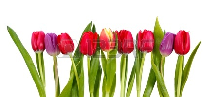 450x200 Tulip Images Amp Stock Pictures. Royalty Free Tulip Photos And Stock