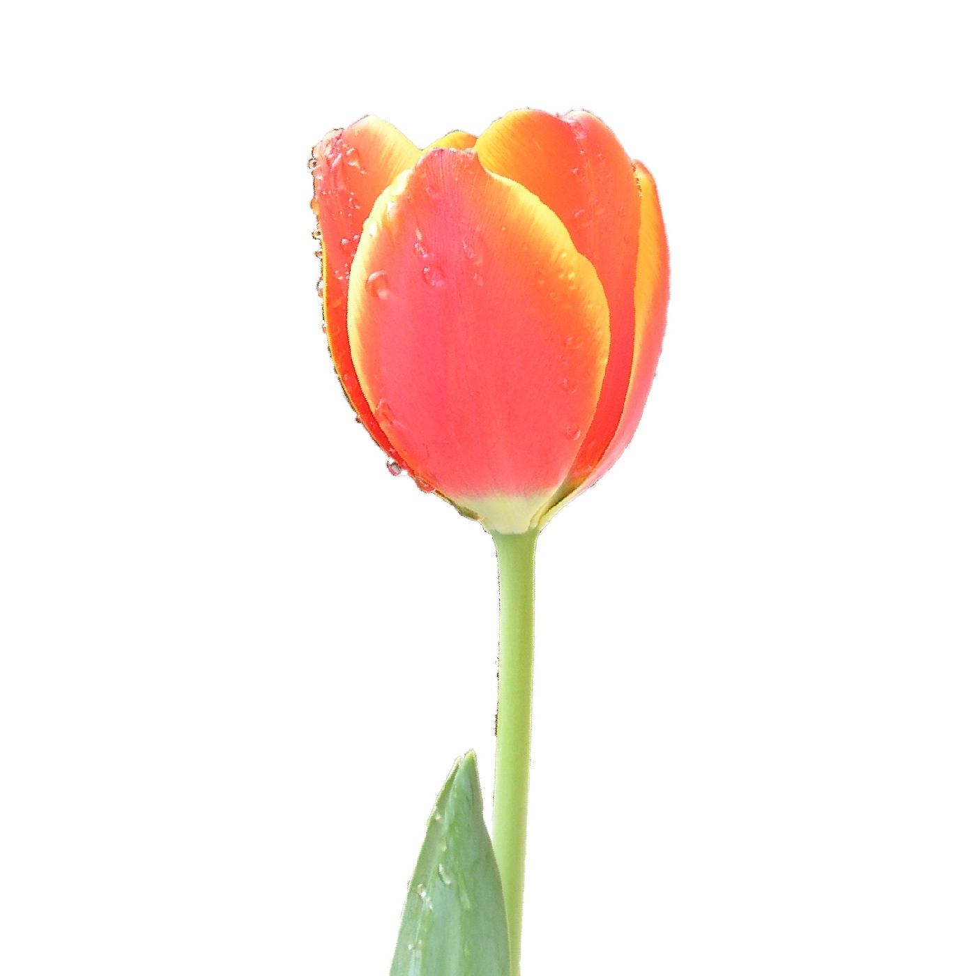 1400x1400 Filetulip Single Upright.png