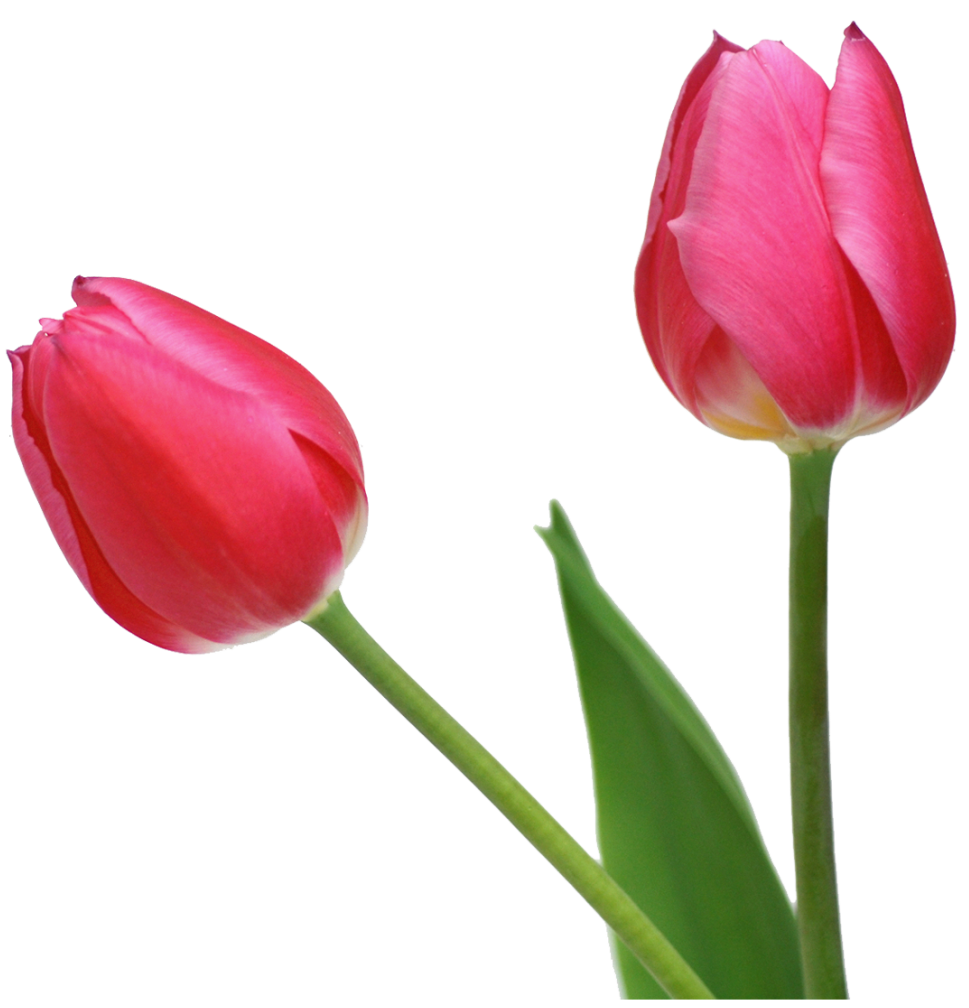 969x1008 Transparent Tulips Png Flowers Clipartu200b Gallery Yopriceville